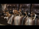 11 Eight Week Old Basset Hound Puppies Posing for Pictures!