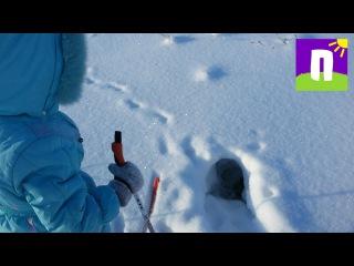 Следы зайцев, кабанов и чья-то нора Ева на лыжах