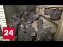 Куры с антибиотиками: как лечат цыплят и калечат людей