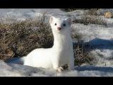 Ласка обыкновенная - Weasel (Энциклопедия животных)