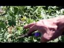 15 кг помидор с куста. Правильное пасынкование и формирование томатов..mp4