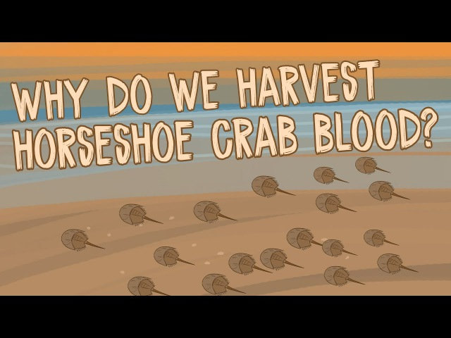 Why do we harvest horseshoe crab blood - Elizabeth Cox