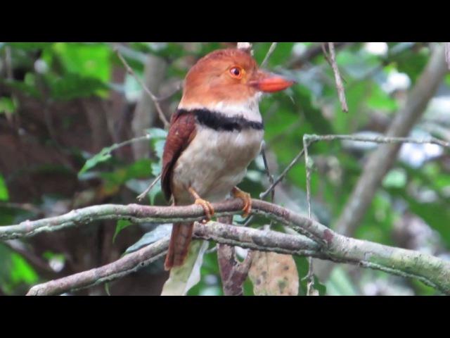 Collared puffbird / Ошейниковая пуховка / Bucco capensis