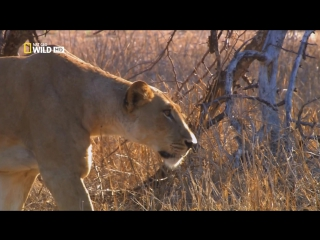Львица в изгнании / Lioness in Exile (2012) HD1080p