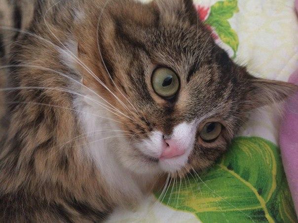 Пропала кошка выпрыгнула из окна.Кошечка трехшерстная с белой грудкой,