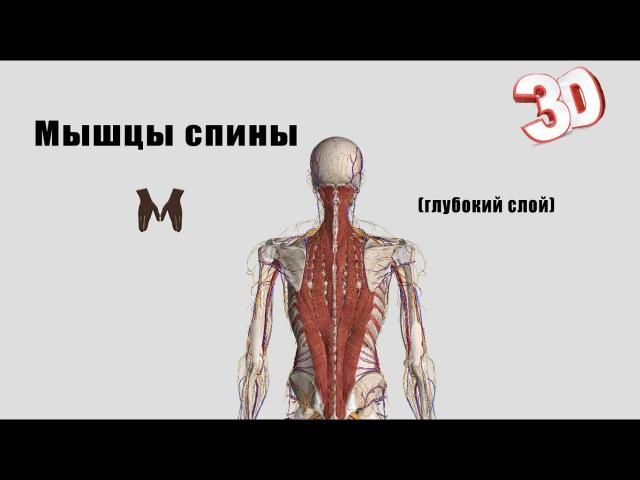 Глубокие мышцы спины детальный обзор