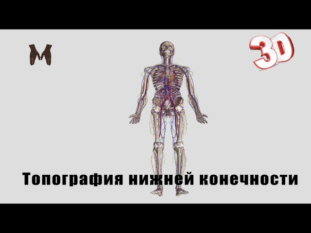Топография нижней конечности (детальный обзор)/The topography of the lower limb