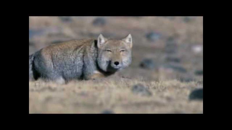 Cs@df охота лисицы тибетской за пищухой подкрадывание бросок раскапывание норы