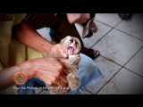 The truth behind the slow loris pet trade and cute tickling slow loris videos