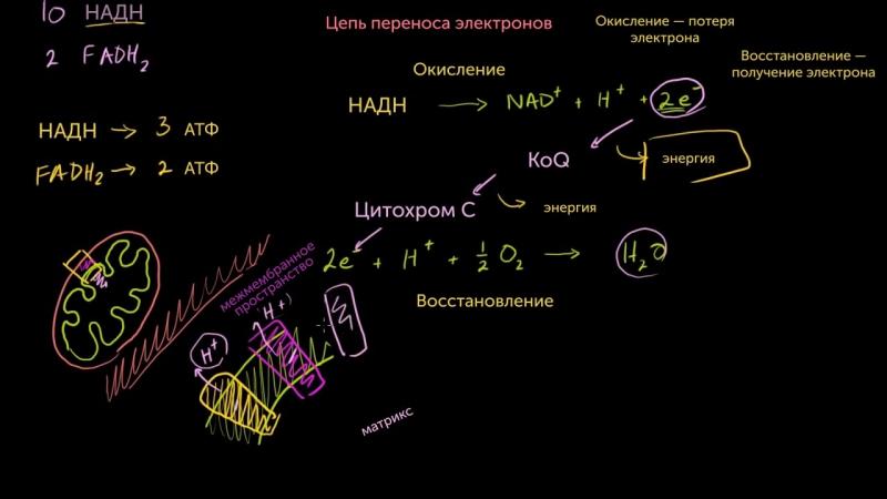7. Цепь переноса электронов
