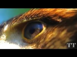 Funny birds of prey. Eagle. Смешные хищные птицы. Орёл. Не попал в гнездо, запутался