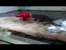Крокодил прокусил голову дрессировщику 18