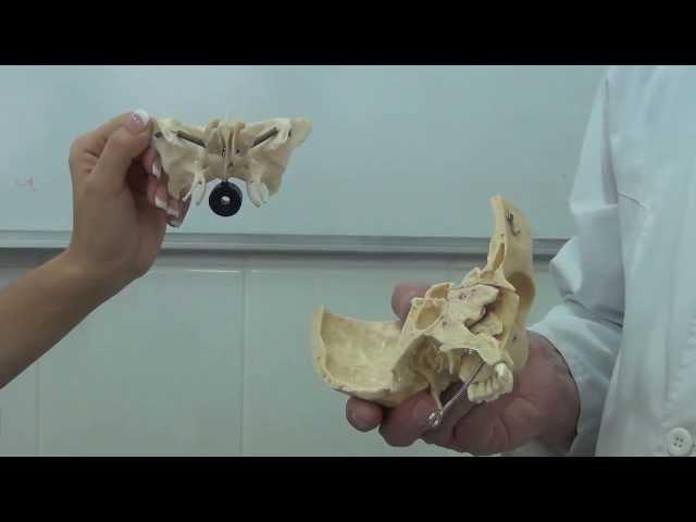 Клиновидная (основная) решетчатая кости