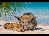 Пляж со свиньями на Багамах: Остров Биг Мейджор Кэй Багамские острова