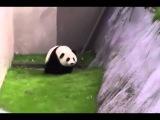 Пьяная панда гуляет по зоопарку