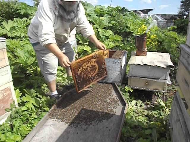 работы на пасеке в июне - как не допустить роев с не плодными матками
