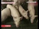 Уже в десяти областях України зафіксовано спалахи африканської чуми свиней
