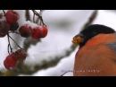 Снегирь и рябина Bullfinch and rowan Pyrrhula pyrrhula