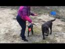 Николь - продается щенок лабрадора ретривера! Помотрите видео! Она уже плавает