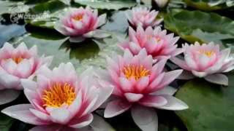 Водяная лилия Фламея в питомнике Waterlilia