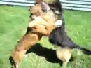 Собачьи бои.Немецкая овчарка против питбуля.