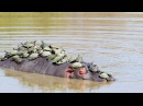 Kruger Park Hippo shaking off annoying terrapin passengers