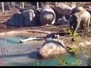 Слоненок и гусь