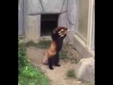 как мне нравиться...! чудная красная панда преклоняется камню))