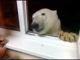 A polar bear came to visit