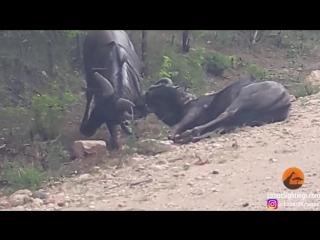 Антилопа Гну возвращает к жизни своего друга