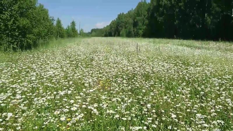крупная ромашка в поле ромашек безбрежное ромашковое поле