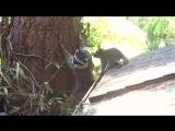 Мать енот учит ее детеныша как подняться на дерево