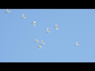 Большие белые цапли в Самурском заказнике