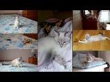 Тайский котёнок Имар Марик играет перед отъездом и в своём новом доме! Тайские ...