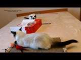 Как тайские котята Калиостро и Изабель играли с пакетом! Тайские кошки это чудо...