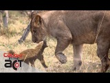 Fearless Honey Badger takes on 6 Lions CAUGHT IN THE ACT