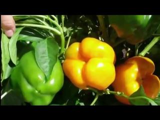 Как посадить и вырастить перцы?