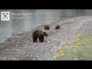 Где-то в Якутии рыбаки кормят медведицу с медвежатами (маты)