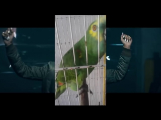 Попугай перепел Рианну)