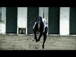 Le chien le plus rapide du monde - le lévrier greyhound [HD]