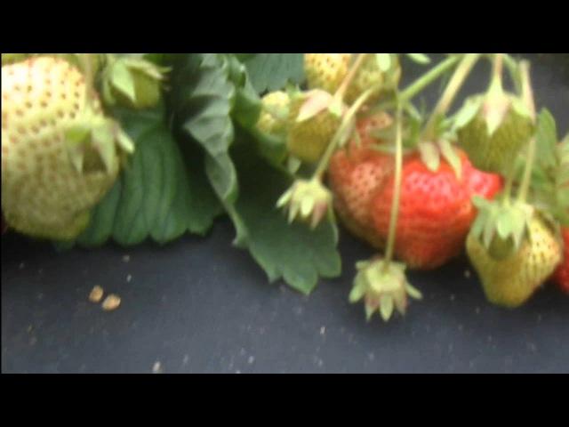 Японский сорт ЧАМОРА ТУРУСИ. Ягода до 110 грамм.