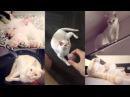 Тайский кот Д'Артаньян-Мячик поноску приносит, в игры на планшете играет и с хозя...