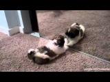 Кошки и собаки против зеркала