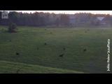 Великолепный вид был запечатлён на видео – около 20 лосей вышли в туманное поле