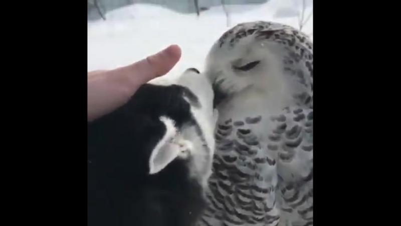 Удивительная дружба Я бы хотел, чтобы кто-то любил меня так, как этот хаски-щенок любит эту сову