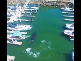 Красивая аэросъемка заплывшего огромного кита в яхт-клуб