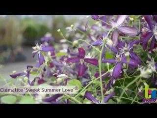 Клематис Свит Саммер Лав (Sweet Summer Love) Сладкая летняя любовь.