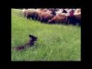 «Собачья работа 52. Бьюти – собака-компаньон. Синдер – городская пастушья собака» Познавательный, 2002