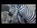 DOBERMAN vs HYENA About ►► Köpek Kavgası Dövüşü Hakkında ► Hyena attacks Antelop_144p