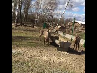 Весенние забеги пятнистых оленей